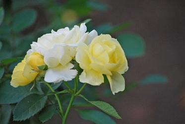 黄色のバラ2